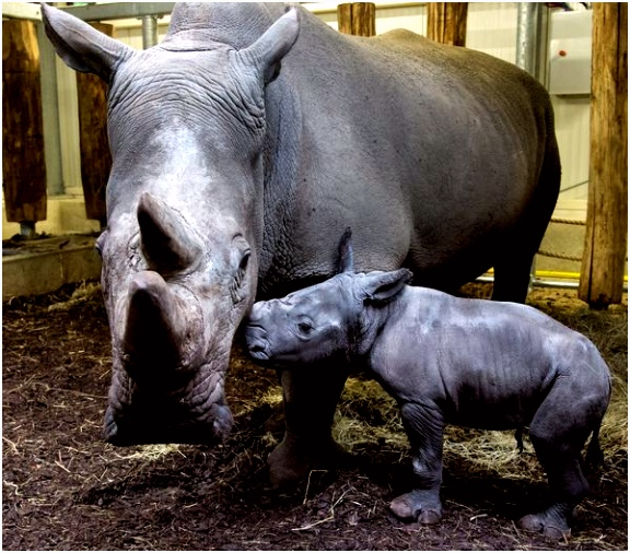 Rhino Birth Live Streamed at Burgers Zoo