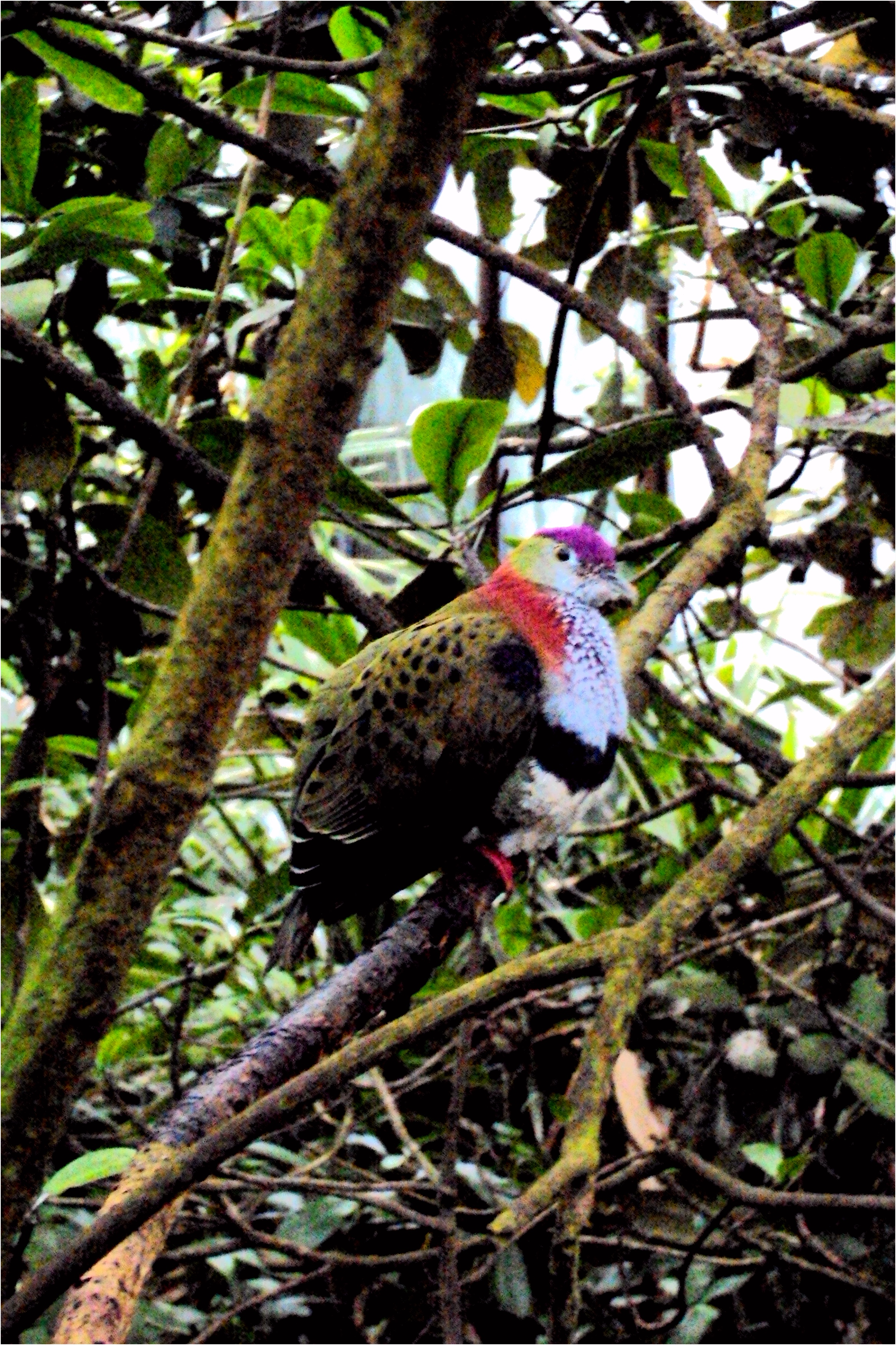 Superb fruit dove Ptilinopus superbus in the Mangrove 21 02 2015