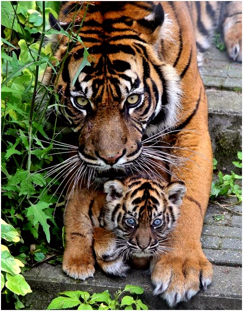 Young tiger cubs Animals Pinterest