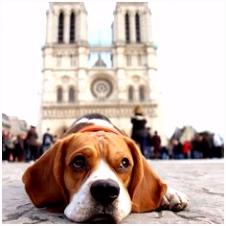 431 beste afbeeldingen van Beagles in 2018 Beagle puppy Cubs en