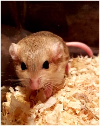 gerbils Rodents For Sale