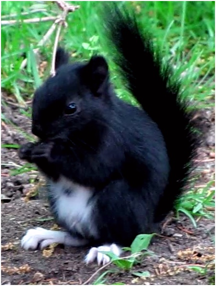 We call him Boots a melanistic red squirrel Tamiasciurus