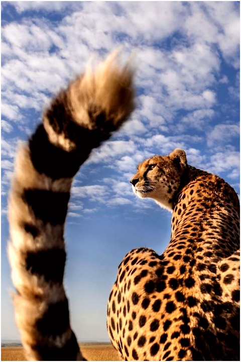 78 best Cheetah images on Pinterest