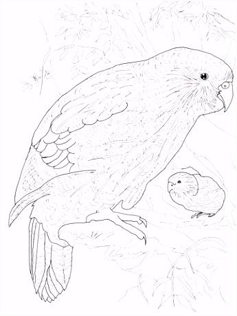 Kleurplaat Papegaai Kakapo Papegaai Kleurplaat T7ia27jui4 Qsoo22oyvs