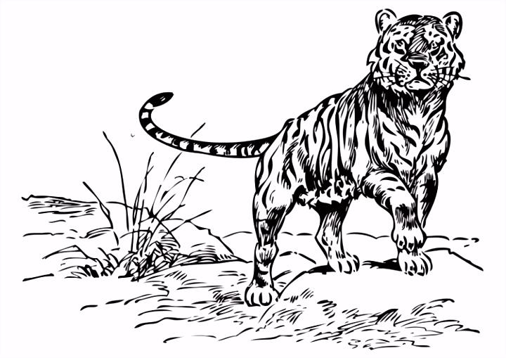 Kleurplaat tijger Afb