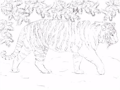 Siberische tijger kleurplaat