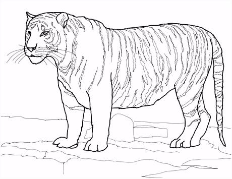 Witte Bengaalse tijger kleurplaat