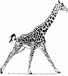 Kleurplaten Giraffe Giraffes 56 Best Images In 2018 D5in76zon3 R5rhu4ivc0