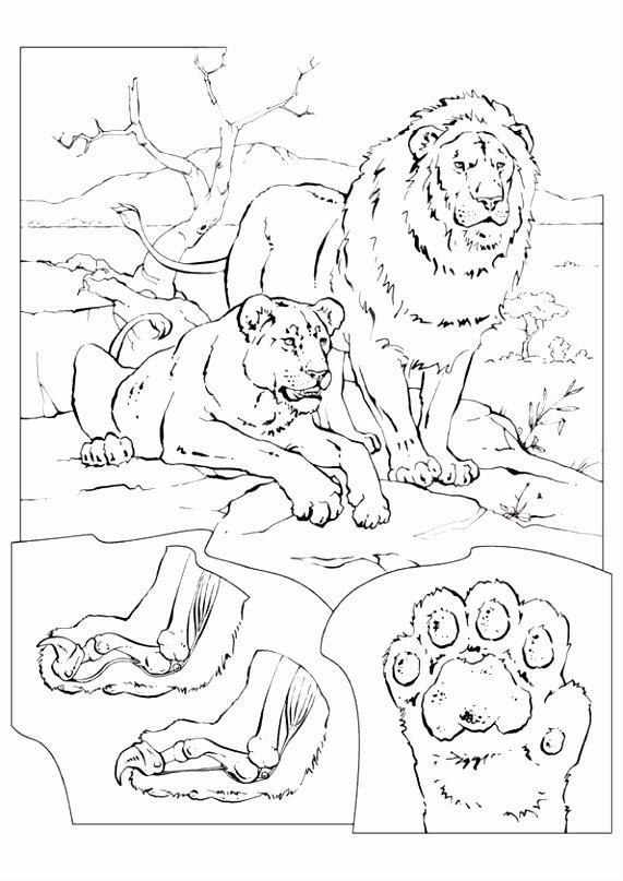 Kleurplaat Leeuwen 7383