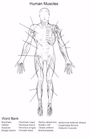 Aanblik op de menselijke spieren voorzijde werkblad kleurplaat