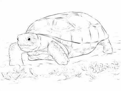 Levensechte Gopher schildpad kleurplaat