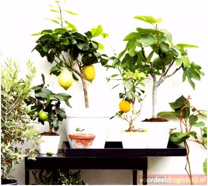Mediterrane Fruitbomen Set van 4 Sinaasappel Citroen Vijg en