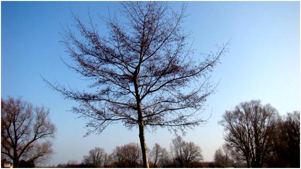 Flora van Nederland Zwarte els Alnus glutinosa