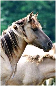 524 beste afbeeldingen van konik paarden in 2018 Horses Animal