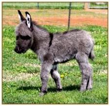 82 beste afbeeldingen van Donkeys Baby donkey Cute donkey en Mini