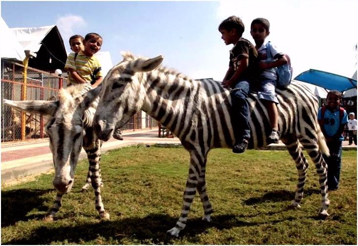 Zebra s dood in Zoo Gaza dan maar strepen geverfd op ezels