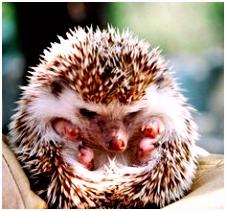 46 best Cute hedgehogs images on Pinterest