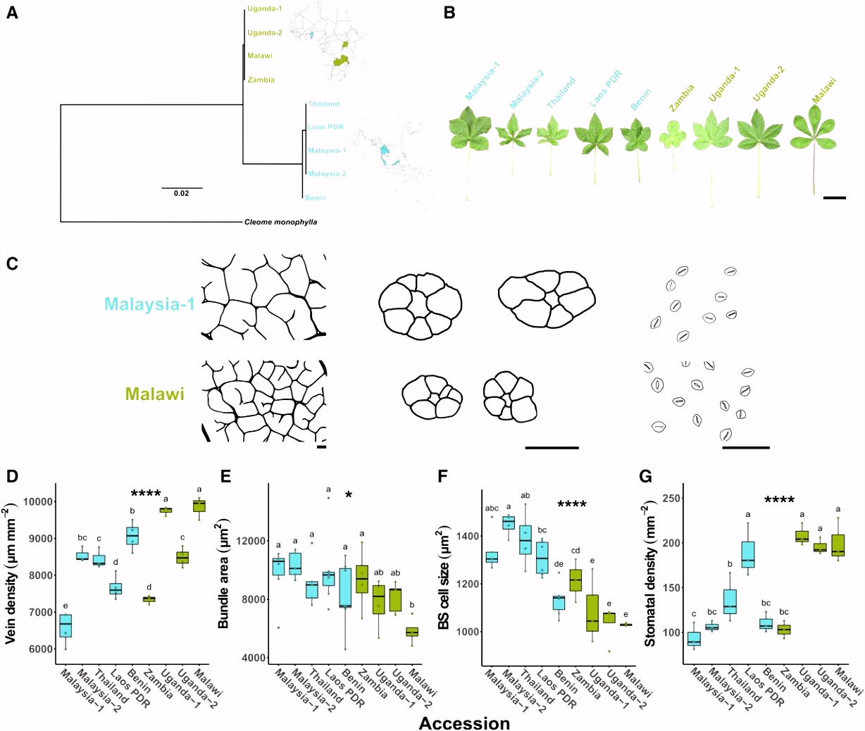 Natural Variation within a Species for Traits Underpinning C4