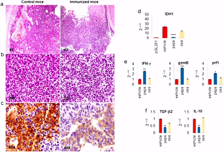 Effective immuno tar ing of the IDH1 mutation R132H in a murine