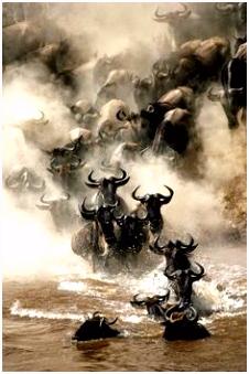 Wildebeest makes valiant attempt to cross river in Kenyan migration