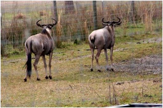 Wildebeest Picture of Safari Wilderness Lakeland TripAdvisor
