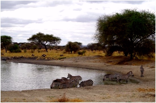zebras & wildebeest drinking water at the river Picture of