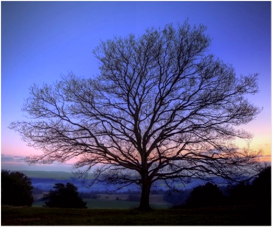 Poster Single kale winter boom tegen trillende zonsondergang