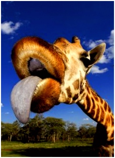 56 best Giraffe tongues images on Pinterest