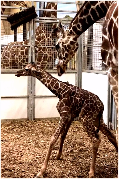 Baby giraffe is second to be born at Omaha zoo this year