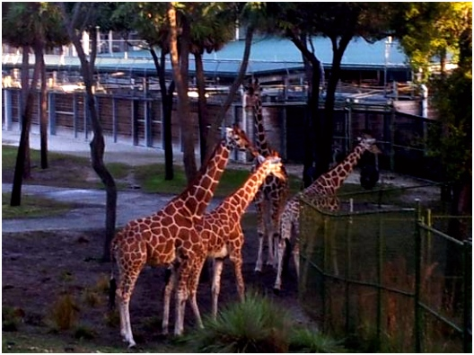 Giraffes looking over at the pool area Picture of Disney s Animal