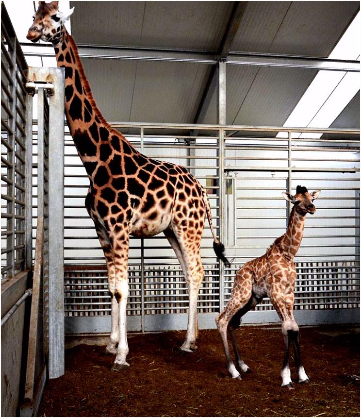 1 Miljoen Giraffen Safaripark Beekse Bergen Met Record 1 Miljoen Bezoekers In 2018 H3yu51foc1 B2yi4v0lo2