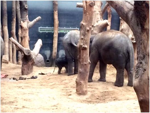 Helaas is olifantje Thabo onder de moeder gedoken om melk te