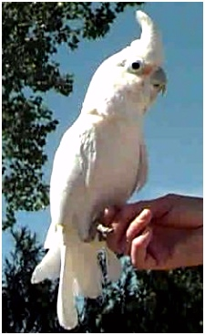 27 Best goffin cockatoo images