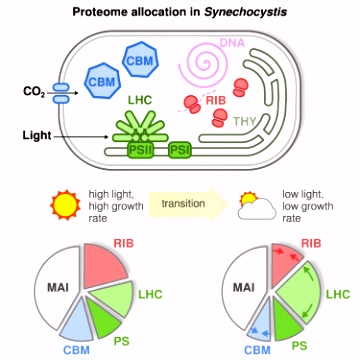Growth of Cyanobacteria Is Constrained by the Abundance of Light and