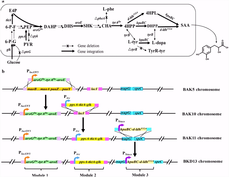 Chromosome engineering of Escherichia coli for constitutive